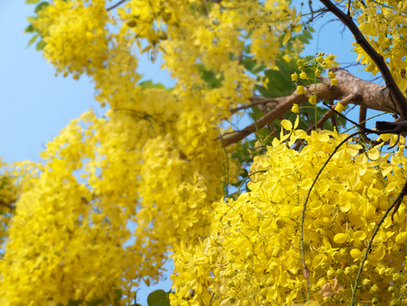 fabaceae: Golden shower tree, National Tree of Thailand, Cassia fistula, Family Fabaceae
