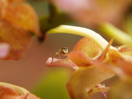 jumping spider: A macro closeup of a jumping spider on orchid flower(aerides sp.)
