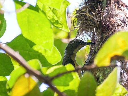 sunbird: Female Olive-backed sunbird feeding her child in her nest. Cinnyris jugularis, Family Nectariniidae, synonyms Black-breasted Sunbird, Black-throated Sunbird, Olive backed Sunbird, Yellow-bellied Sunbird, Yellow-breasted Sunbird