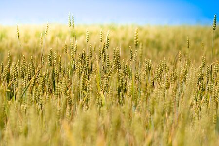 Landscape of golden wheat field Stock Photo