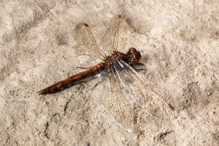 Macro detail of brown dragonfly lying on stone