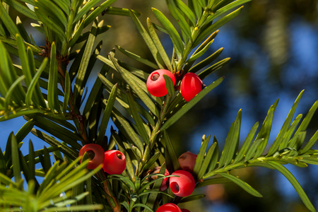 Macro of branch of red yew tree with berries with blue sky background