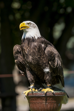 Dramatic serious look of resting bald eagle Stock Photo