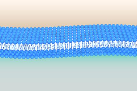 Flessibile illustrazione Phosholipid doppio strato vettoriale Archivio Fotografico - 27471630