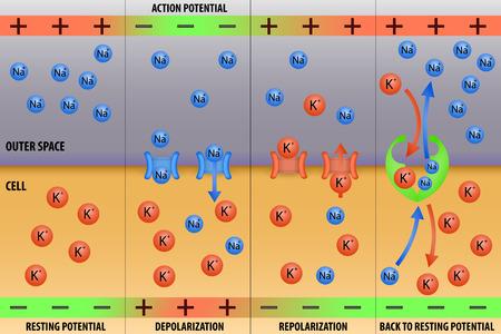 действие: Нервный импульс потенциал действия в нейронной схемы векторные иллюстрации Иллюстрация
