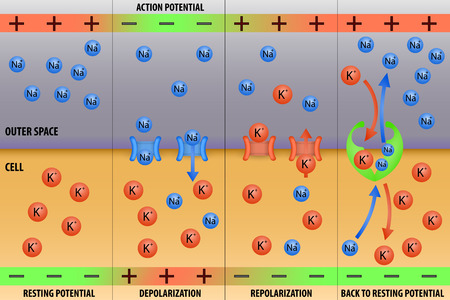 nervios: Potencial de acción del impulso nervioso en las neuronas ilustración vectorial esquema