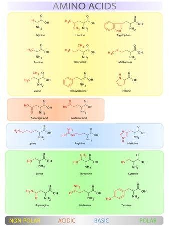 Gli aminoacidi colorato tabella chiara illustrazione vettoriale Archivio Fotografico - 30657340