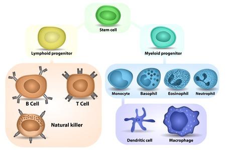 zelle: Weißen Blutkörperchen Bildung von Differenzierung von hämatopoetischen Stammzellen Illustration