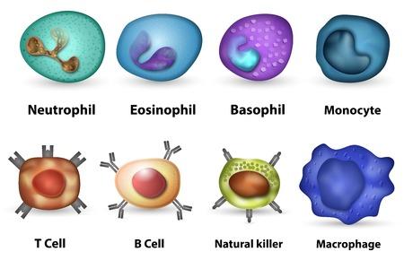 Belangrijkste witte bloedcellen leukocyten soort overzicht Stockfoto