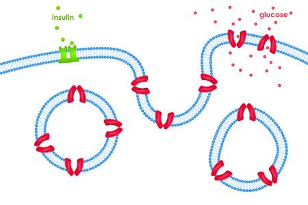 membrana cellulare: Il trasporto del glucosio attraverso la membrana cellulare tramite trasportatori attivati ??da insulina che interessano i suoi recettori Vettoriali