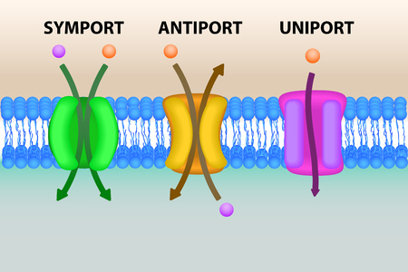 Symport, antiport and uniport types of cell membrane transport systems