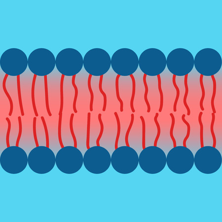 Amphipatic property of lipid bilayer cell membrane