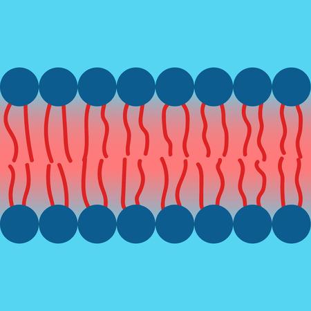 Amphipatic property of lipid bilayer cell membrane
