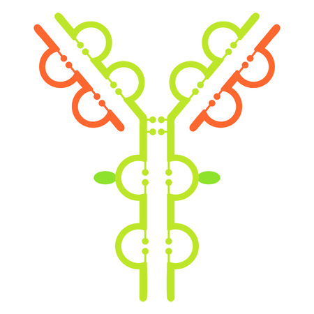 disulfide: Structure of immunoglobulin IgG antibody molecule vector