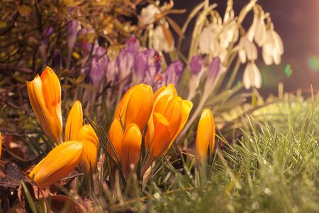 croci: Spring flowers crocus and snowdrop in evening sunlight with lens flare