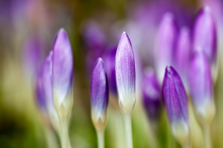 croci: Macro detail of crocus flowers in garden with shallow depth of field - blurred background
