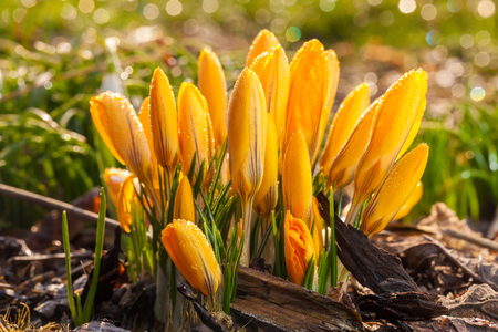 Yellow crocus flowers with water drops macro detail during sunny day Stock Photo