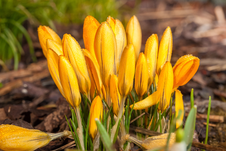 crocus: Yellow crocus flowers with water drops macro detail during sunny day Stock Photo