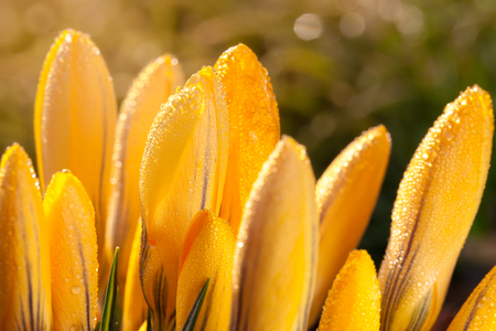 Yellow crocus flowers with water drops reflections macro detail during sunny day