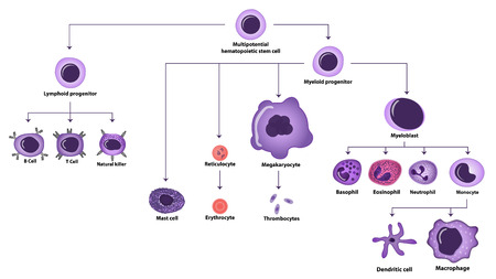 Hematopoiesis differentiation of cell types vector illutration