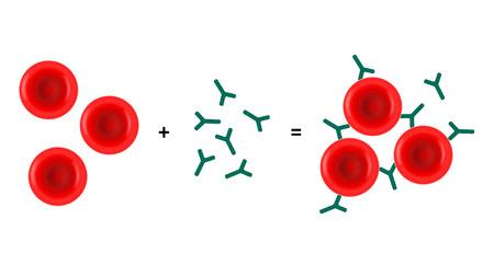 b cell: Hemagglutination blood group test assay vector illustration