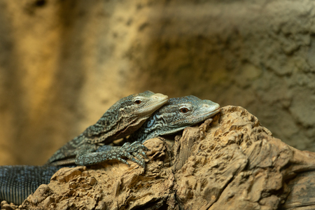 Two lizards resting on rock and hugging