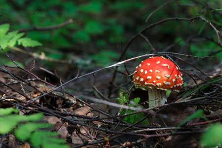 hongo: seta Amanita en el bosque Foto de archivo