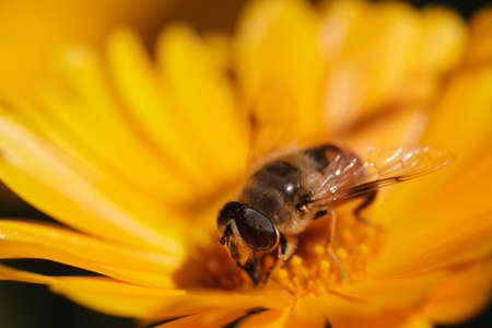 bee sits on a yellow marigold flowers 版權商用圖片