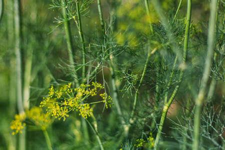 odorous: green dill, garden dill, fresh dill, dill odorous, summer dill, dill photo, dill background, dill blossom, green dill in garden