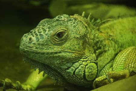 vivarium: Big lizard in a terrarium