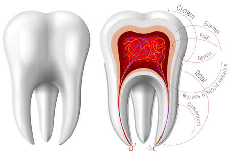 Anatomy of Tooth. Vector illustration Illustration