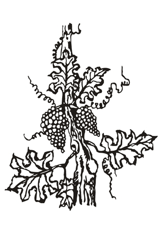 winemaking: bearing fruit used for winemaking Illustration