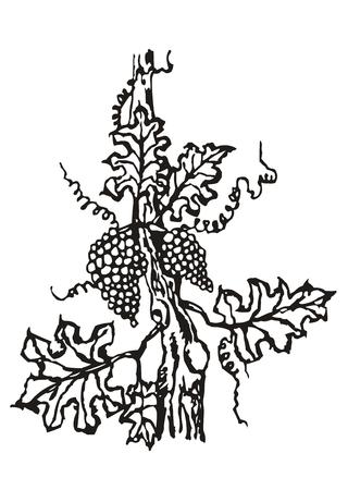 shadowgraph: bearing fruit used for winemaking Illustration