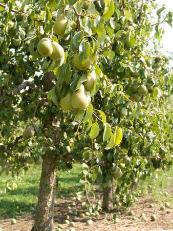 tree with many pears 版權商用圖片 - 60820990