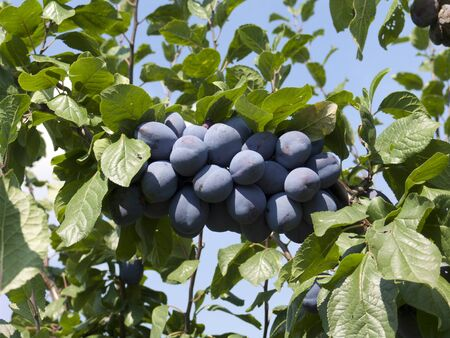 ripe plums hang on the tree