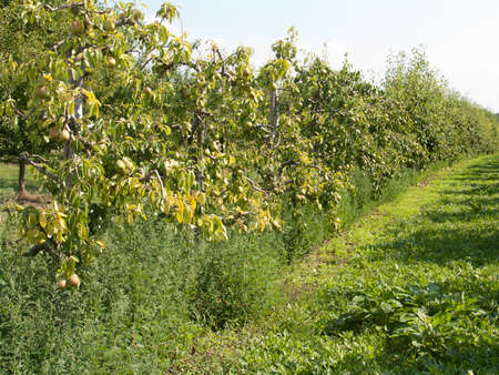 fields with pear
