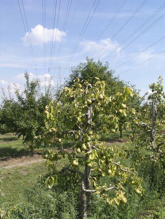 tree with many pears 版權商用圖片 - 60821599