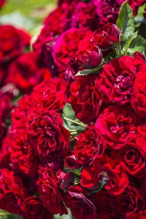 天然の赤いバラの背景。国境の赤いバラのブーケ。 写真素材 - 60355125