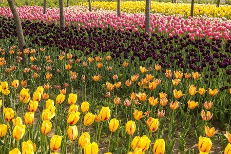 disciplines: tulip flower