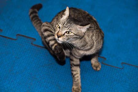 gym floor: thai cat on gym floor Stock Photo