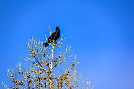 cuervo: Black Raven perched on a tree branch against a blue sky. Foto de archivo