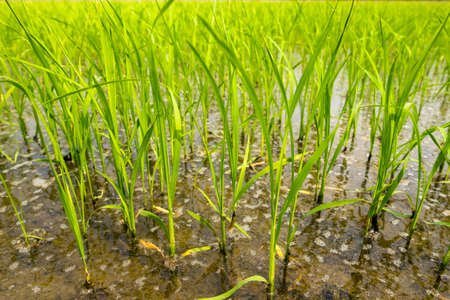 paddy: Close up of green paddy rice.  in paddy rice field