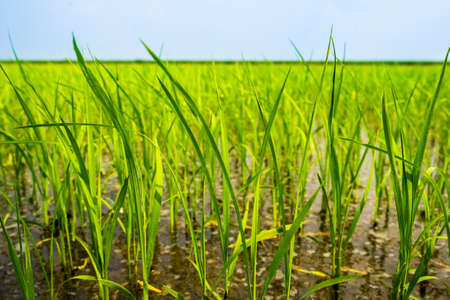 paddy fields: Close up of green paddy rice.  in paddy rice field