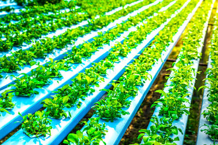 cultivation: Organic hydroponic vegetable cultivation farm with soft light