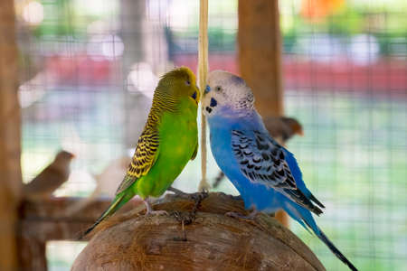 a pair: Pair lovebirds Stock Photo
