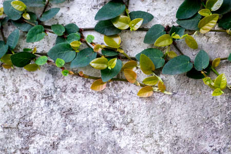 creeping fig: Ivy vine on wall