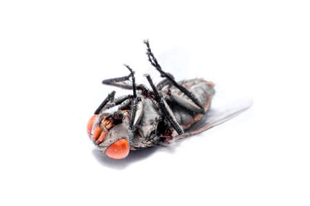 horrifying: close-up of House fly isolated on white background