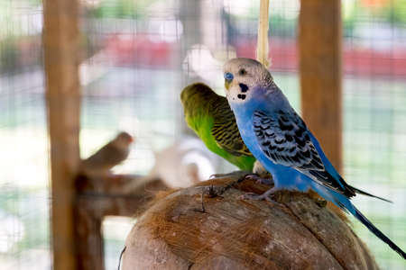 budgie: Young blue budgie in cage
