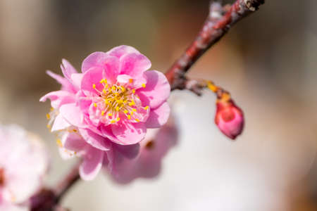 early blossoms: Pink cherry blossoms (Kawazu sakura in japanese) in early spring, soft nature background.