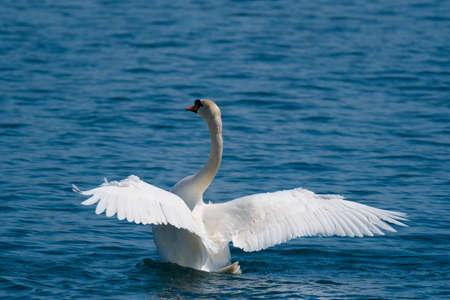 swan on blue lake wate Stock Photo - 83062362
